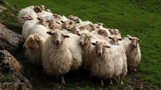 raza de ovina Latxa