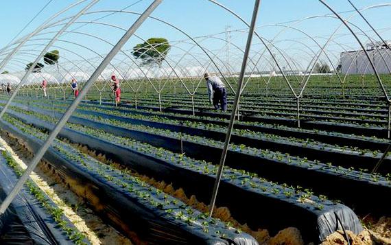 Plantación de fresa