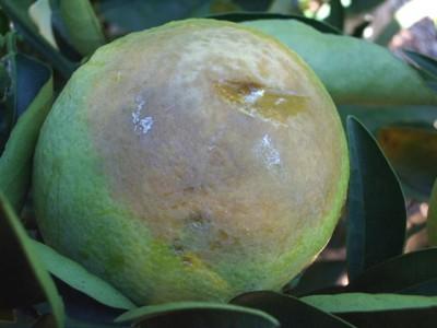 citricos_aguado_5