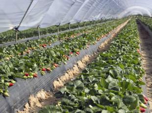 Cuna de Platero viaja a la feria berlinesa Fruit Logistica posicionándose como 'Global Berry Partner'