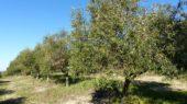 Olivar en Huelva