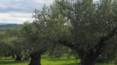 Olivar ecológico andaluz