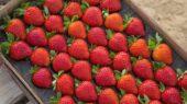 Calinda, la fresa premium de Fresh Forward, que se cultiva en Huelva.